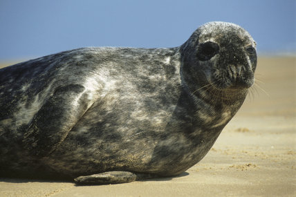 A close up of a seal on its side on the sand at Blakeney Point