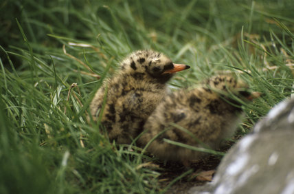 Two young birds amongst grass on the Farne Islands