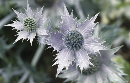 A close up of some purple flower heads, they are part of the Eryngium or Sea holly family, with spiky petals and thistle like heads
