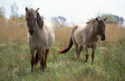 Konik ponies at Wicken Fen, Cambridgeshire
