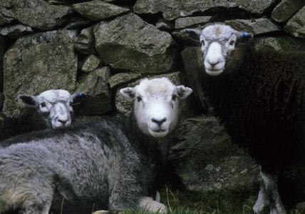 Herdwick Sheep At Yew Tree Farm Coniston Lake District