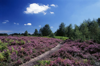 Mass of flowering heather in the New Forest at Rockford Common, path near Rodens Bottom