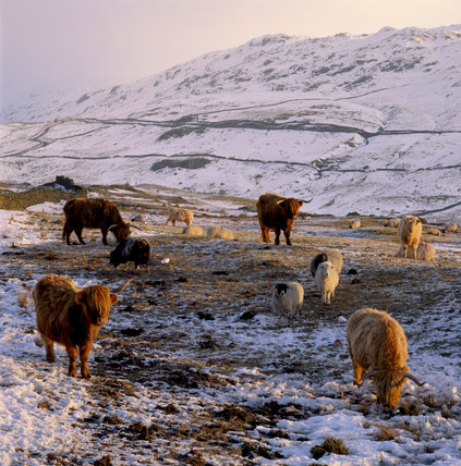 Below Kirkstone Pass, red haired longhorn cattle and sheep grazing in snow covered fields