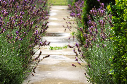 Lavender growing alongside a garden path at Mottisfont Abbey
