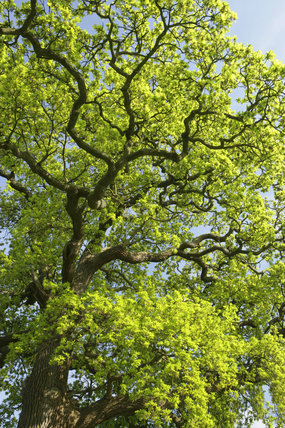 A close view of the branches and leaves of an oak tree in the park at Hatchlands, Surrey