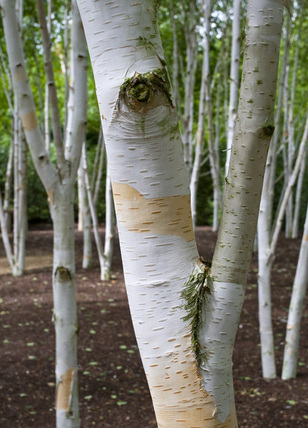 Silver Birch Trees In The Winter Garden In July At