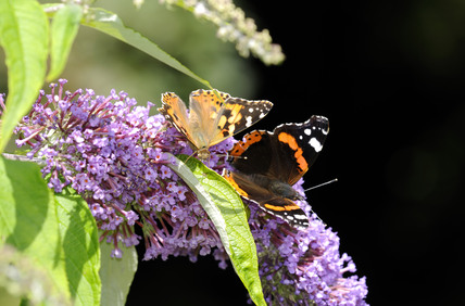 Red Admiral Butterfly Vanessa Atalanta And Painted Lady