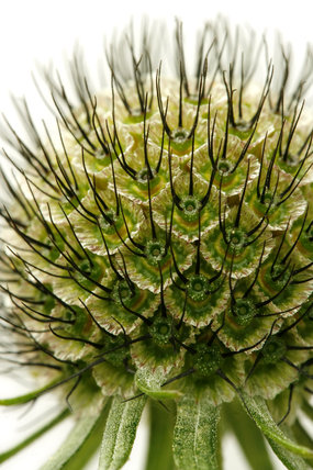 Scabiosa stellata seed head
