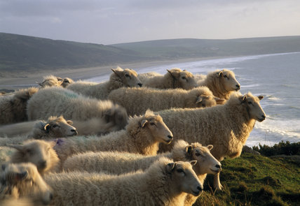 Close-up view of Romney sheep on hill with sea and hills in the background at Morte Point in Devon