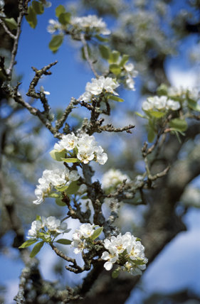 Close-up of pear blossom in the garden at Bateman's