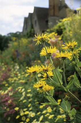 Inula in the foreground, part of the borders at Packwood House, with the house just visible in the background
