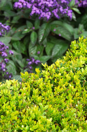 Planting in the garden at Mottisfont Abbey - a close view of heliotrope (heliotropium) and box hedging