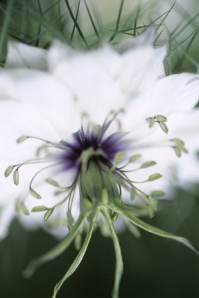 Detail of Nigella Damascena (Love in a mist) in The Courts Garden