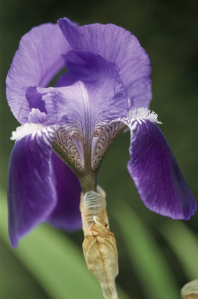 Detail of a Bearded Iris at The Courts Garden