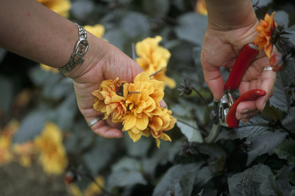 Close up view of a pair of hands deadheading flowers in the formal garden at Anglesey Abbey