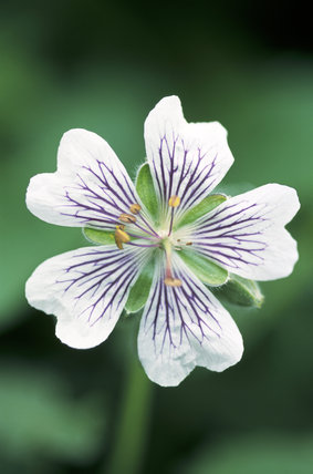 detail of Geranium Renardii at The Courts Garden