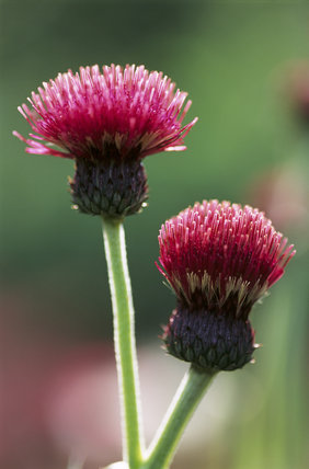 Detail of Cirsium Rivulare 'Atropurpureum' in The Courts Garden