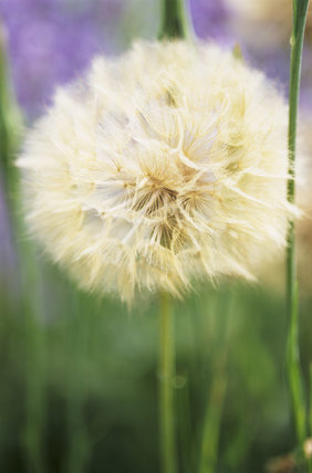 Dandelion clock, Taraxacum,  in The Courts Garden