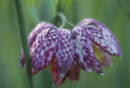 Close-up detail of the Snakes Head Fritillary (Fritillaria meleagris)