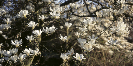 Close-up view of the Magnolia soulangeana `Alba' in the gardens of Hinton Ampner