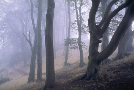 A stand of beach and birch trees in the early morning mist in the Clent Hills