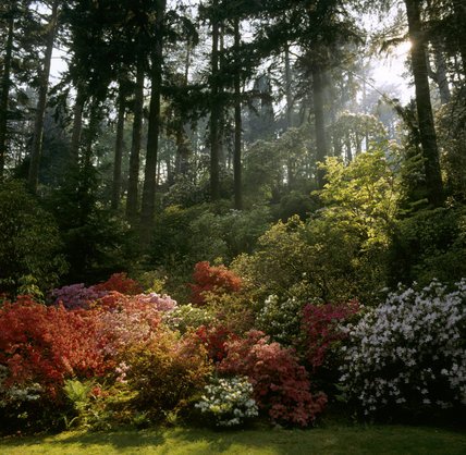 Sunlight streaming through tall fir trees at Bodnant Garden on to a border of colourful azaleas