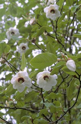Magnolia Wilsonii in the garden at Rowallane