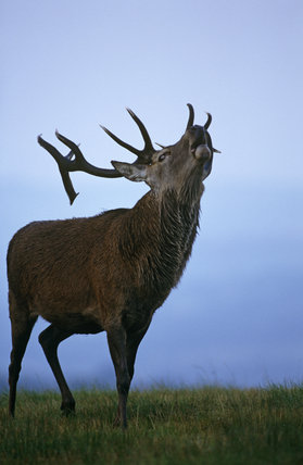 A mature stag roaring, during rutting,  above Coalpit Clough, Lyme Park, Cheshire