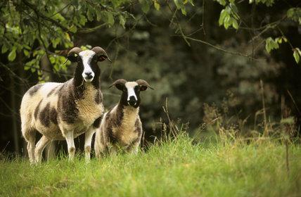 Two Jacob's sheep on the Brockhampton Estate