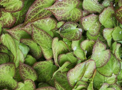Epimedium sp. at Little Clarendon. Close shot of leaves with raindrops.