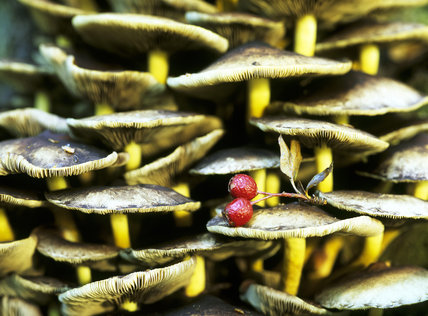 A tight knit clump of fungi, growing on an old stump on Witley Common with two fallen hawthorn berries (Haws) resting among them