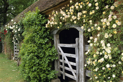 An oblique view of the Old Stables at Barrington Court, with cream Rosa