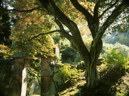 An Acer palmatum at one of the massive stone gateways leading into China, a well-hidden Victorian vision of China in the form of a garden in Biddulph Grange Garden