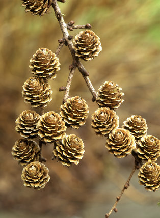 Close view of a branch of a European larch: Larix decidua with fir cones, photographed in January at Claremont Landscape Garden