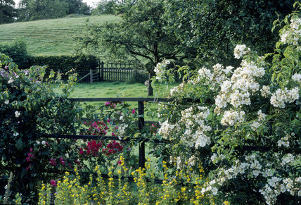 Roses on trellis and early morning view from the garden at Hill Top, Sawrey, Cumbria