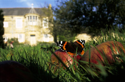 A red admiral butterfly, Vanessa atalanta, rests on fallen apples in the old orchard at Trerice in October