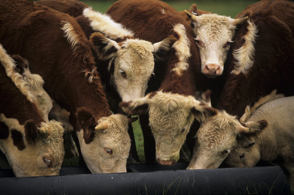 Close shot of the heads of some of the Pedigree Hereford cattle at Warren Farm on the Brockhampton Estate