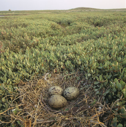 A nest, on the ground, complete with three eggs, in a `field' of sea peas(?)