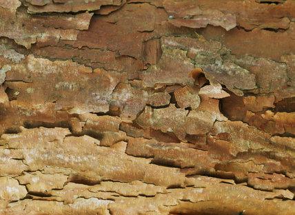 Close shot of Acer griseum bark at Castle Drogo
