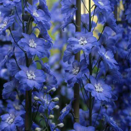 Delphinium (Ranunculaceae) 'Blue Lagoon' in the gardens of Anglesey Abbey, with deep royal blue flowers