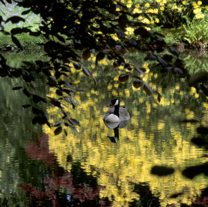 A goose on one of the ponds at Wightwick Manor, golden light streaming through the surrounding bushes reflected in the pool