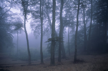 Tall gaunt tree trunks silhouetted against the misty sky, in the Clent Hills, Hereford & Worcester