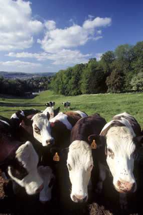 Cows mob the photographer in the parkland above the dams at Prior Park
