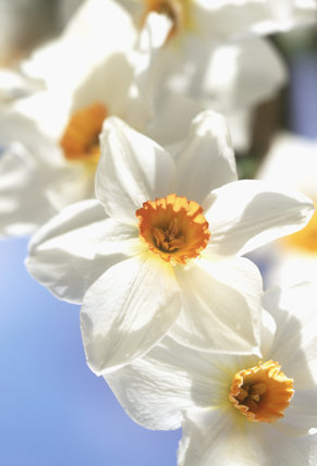 Close-up of a cluster of white Daffodils (Narcissus