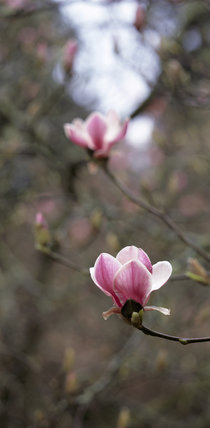 Close-up view of purple-pink bud of the Magnolia Soulangeana at Trelissick Garden