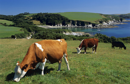 A view of some cattle grazing on the grass covered cliff tops at Gribbin Head