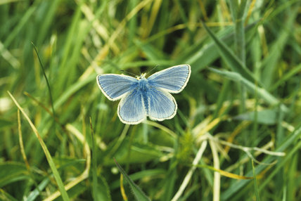 Common Blue butterfly at Wicken Fen, Cambridgeshire