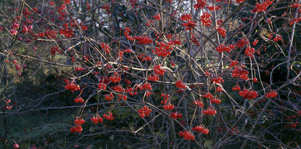Scarlet berries of virburnum opulus hang in clusters from the bare branches of the tree