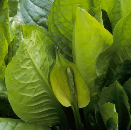 The unusual yellow skunk cabbage in flower in the lake