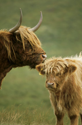 A Highland calf being groomed by its mother